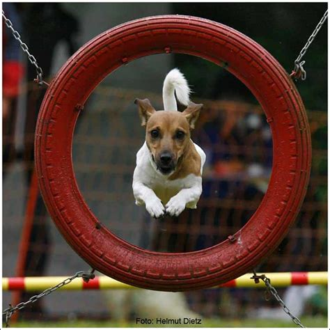 Agility: Jack Russell Terrier   Flickr - Photo Sharing!