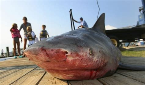 Sharks, apex predator of the Gulf, are dying by the