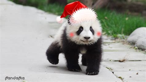 Merry Christmas from Panda Family – Giant Panda Channel